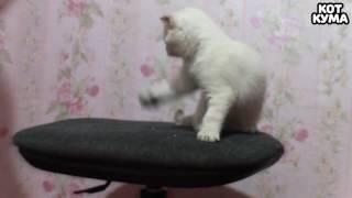 Маленький смешной котенок Кума ПРИКОЛЫ НА СТУЛЕ