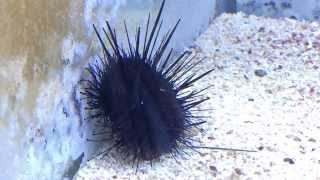 Saltwater Black Blue spot longspine Urchin walking