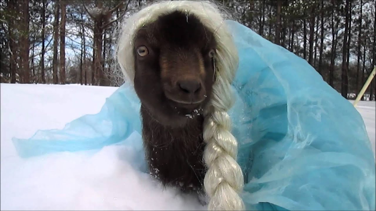 Cute Cat Gif Wallpaper Goat Dressed Up As Elsa Youtube