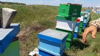Extractie miere de floarea soarelui - 2017