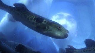 Tödlicher Kugelfisch - ein Leckerbissen für Jedermann