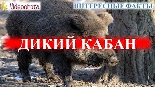 Дикий кабан! ИНТЕРЕСНЫЕ факты - Videoohota(, 2015-12-15T14:23:02.000Z)