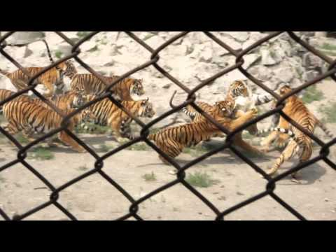 Chicken as live bait in China Tiger Park