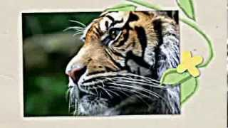 Learn About Tigers. Children Will Love Learning About Tigers, Fun Tiger Facts For Kids