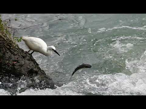 小白鷺捕魚記[Little egret fishing]