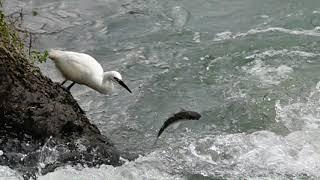 小白鷺捕魚記[Little egret fishing]