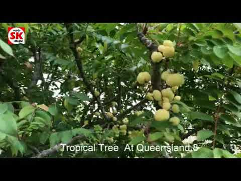 SK Media  Report From Queensland Tropical Tree 8