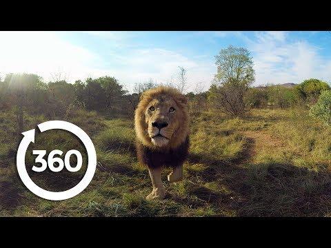 Lion Whisperer | Racing Extinction (360 Video)