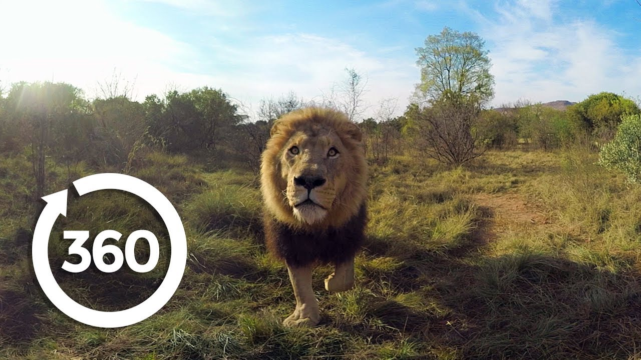 Lion Whisperer   Racing Extinction (360 Video)