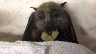 Flying-Fox (bat) eats grapes