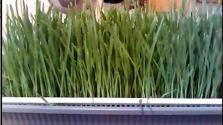 Эликсир здоровья (часть 1) Зеленая пшеница