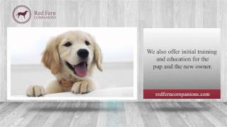 Red Fern Companions | Leading English Golden Retriever Breeder