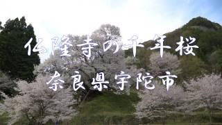 仏隆寺(佛隆寺)の千年桜・奈良県宇陀市