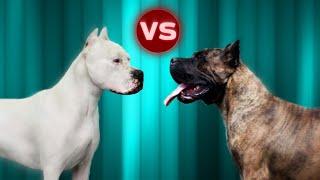 Dogo Argentino VS Presa Canario