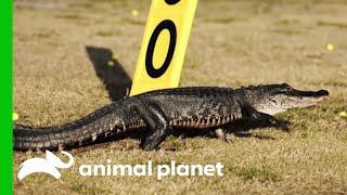 No Birdies, Just Gators at the Golf Course   Gator Boys