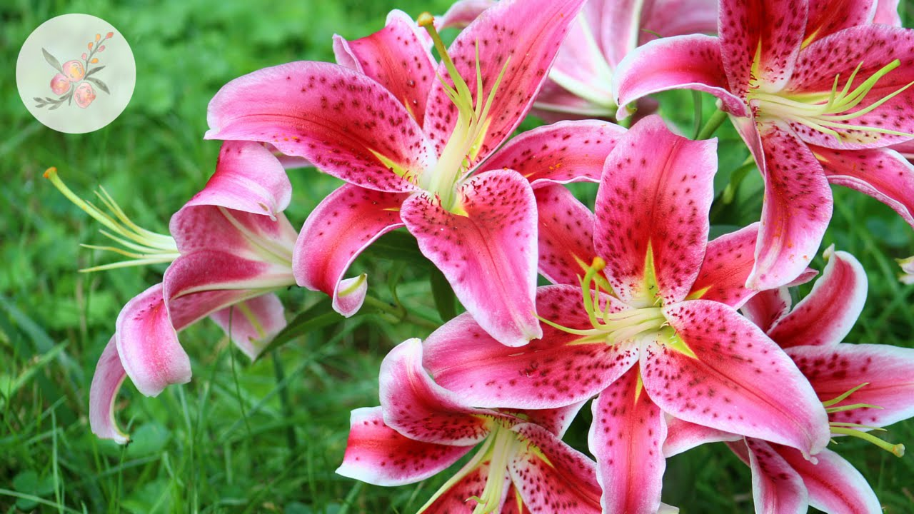 In the garden stargazer lily ornamental cut flower gardening in the garden stargazer lily ornamental cut flower gardening izmirmasajfo