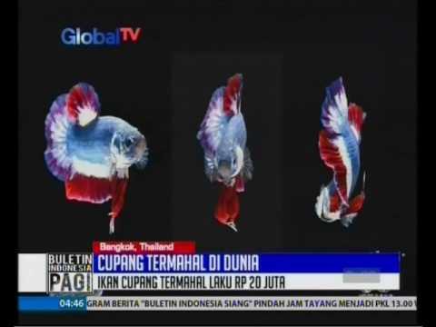 Ikan Cupang Termahal Di Dunia Seharga 20 Juta Rupiah Bip 18 11 Youtube