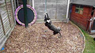 Irish Staffordshire Bullterrier Working Out On Her New Pull