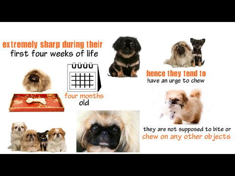 proven-ways-to-handle-pekingese-puppies-chewing-and-teething-problems,-pekingese-dog-health-and-care