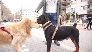 Alman Kurdu , Rottweiler ve Kangal İle Sokak Köpeklerinin Arasına Daldık!! - BÜYÜK OLAY ÇIKTII!!