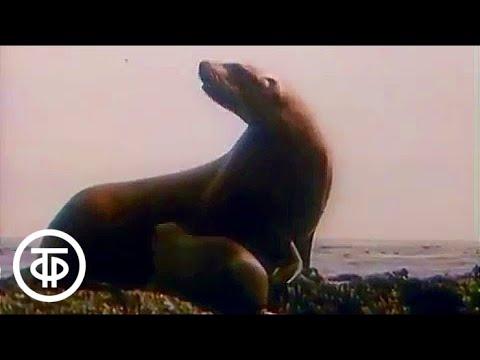 В мире животных. Курильские острова. 1990 г. | В мире животных