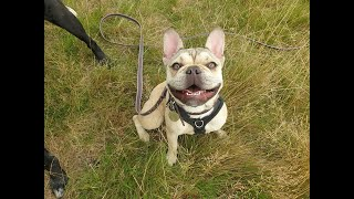 Frankie the French Bulldog - 3 Weeks Residential Dog Training