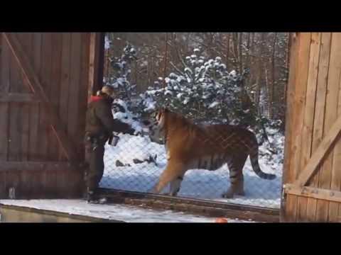 真正的西伯利亞虎有多大How big is a real Siberian tiger?