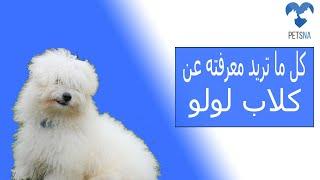 كلاب لولو : كل ما تريد معرفته عن الكلاب اللولو او  كلاب جريفون