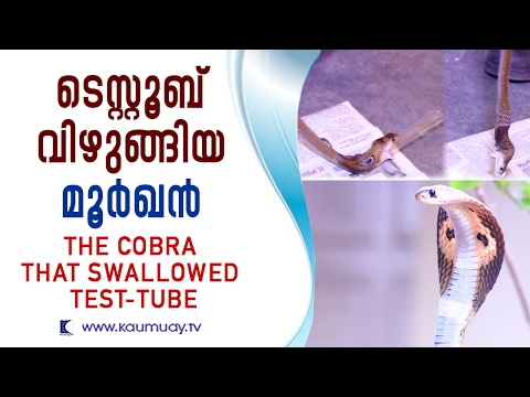 The Cobra that swallowed test-tube   Snake Master   Kaumudy TV