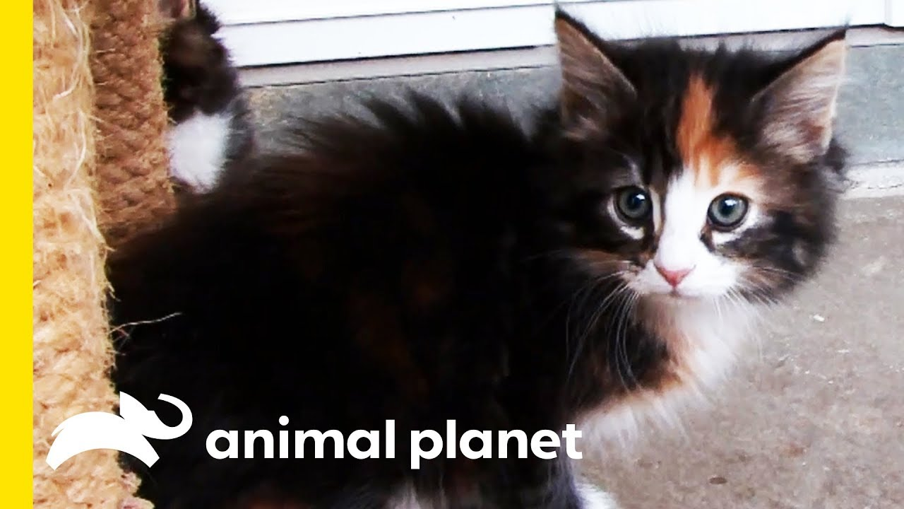 These Fluffy Norwegian Forest Cats Traveled With Vikings Cats 101 Youtube