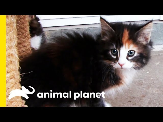These Fluffy Norwegian Forest Cats Traveled With Vikings! | Cats 101