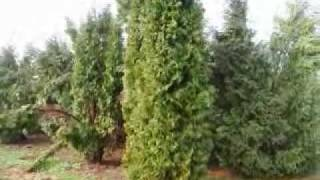 Great Trees for Cannibis Smokers... Hide your Property