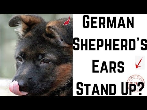 When Will My German Shepherd's Ears Stand Up