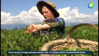 Грузия  секреты производства чая
