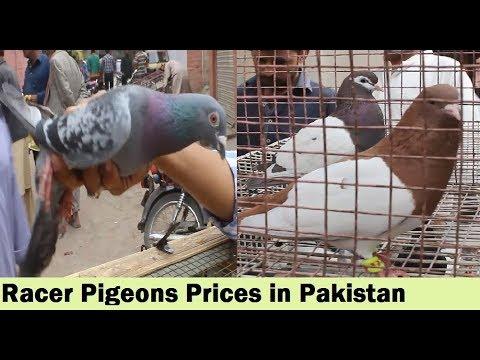Racer Pigeons In Gola Kabootar Market Karachi - Price Updates in Urdu Hindi
