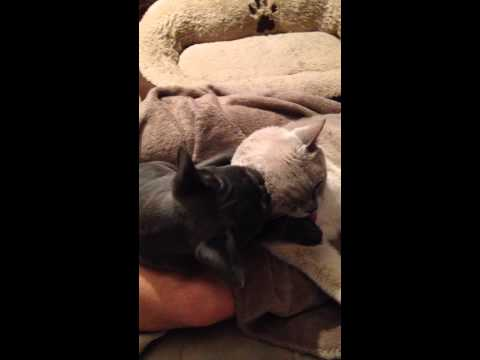 French bulldog Puppy grooming Burmese dady cat.