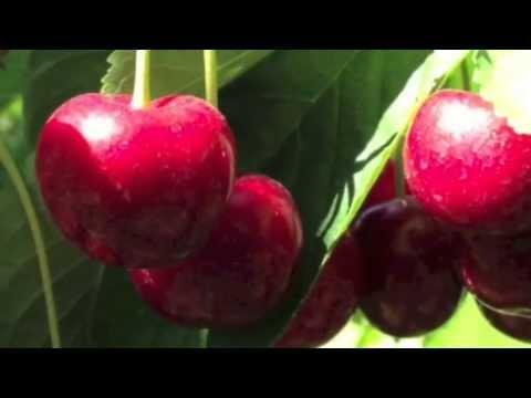 Sweet Cherries   Oregon And Washington