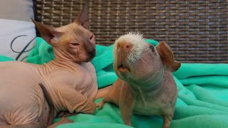 It's Good When you have a friend❗Sphynx Kittens vs Skinny G Pig