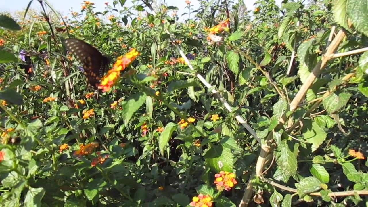 Central Texas Butterfly Garden Owl Creek Park November 5th 2017 Part 2  Beautiful Black Butterfly