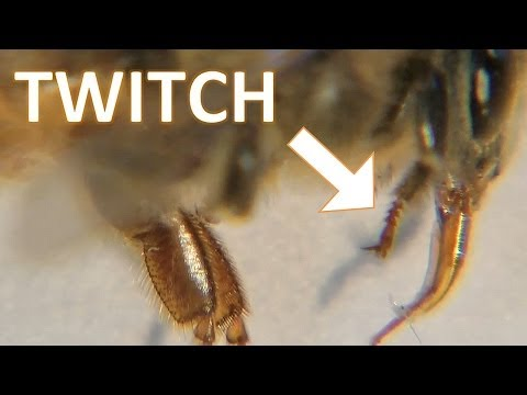 DEAD worker honeybee closeup. Beekeeping in motion.