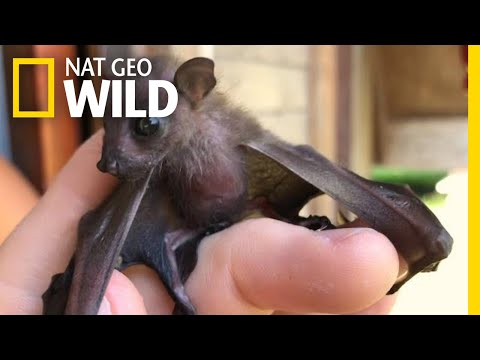 Watch Attempt to Save a Tiny Orphaned Fruit Bat | Nat Geo Wild