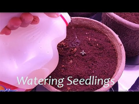 4 how to water seedlings day 1 to 7
