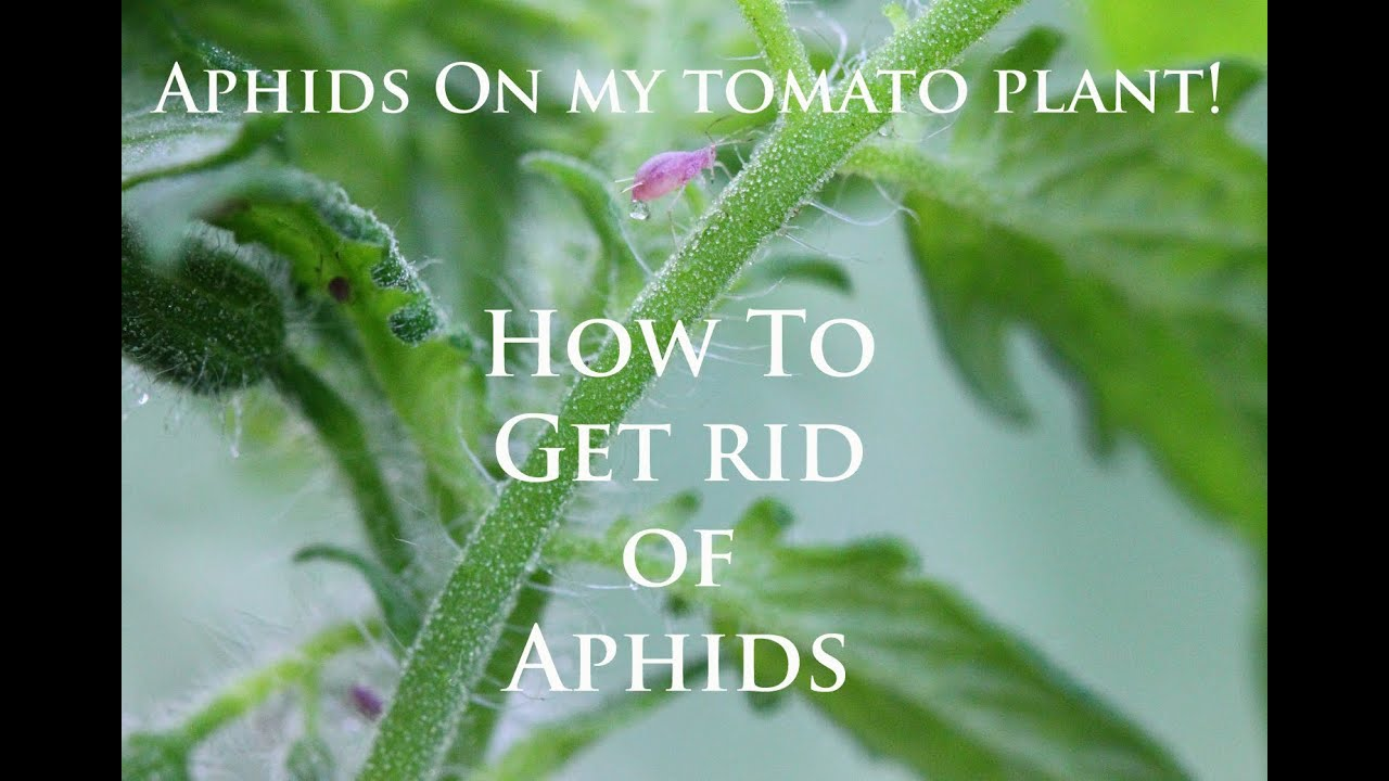 How to get rid of aphids on plants Several effective ways 3