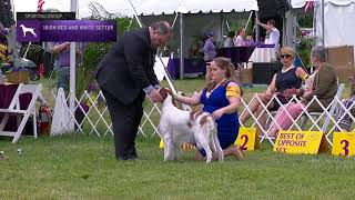Setters Irish Red and White   Breed Judging 2021