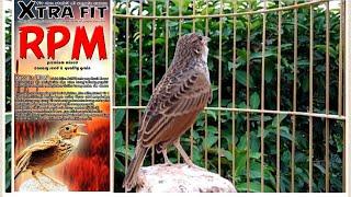 branjangan javanica big 16 jt nettt juragan please subscribenya ya om untuk burung dijual lainnya