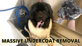MASSIVE Undercoat Removal On A NEWFOUNDLAND PUPPY
