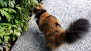 Long-haired Calico cat taking a walk in the garden