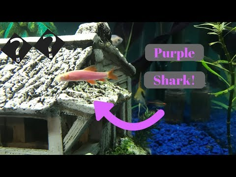 Gloshark! Purple Glowfish Rainbow Shark
