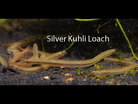 Silver Kuhli- The wiggliest of the wiggly