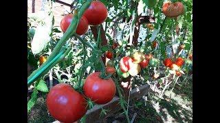 Обзор  томатов 12 июля/ Секреты раннего урожая крупноплодных томатов